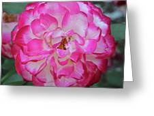 Pink And White Rose Square Greeting Card