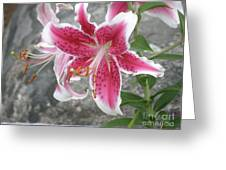 Pink And White Stargazer Lily In A Garden Greeting Card