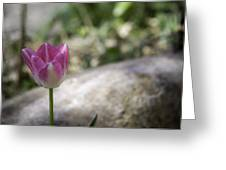 Pink And White Tulip 02 Greeting Card