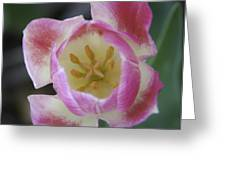 Pink And White Tulip Center Squared Greeting Card