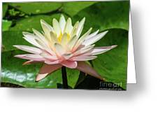 Pink And White Water Lily Greeting Card
