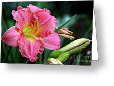 Pink And Yellow Lily After Rain Greeting Card