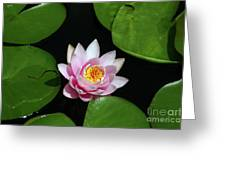 Pink And Yellow Lotus Waterlily Greeting Card