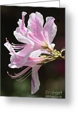 Pink Azalea Macro Greeting Card