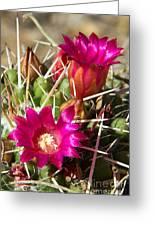 Pink Barrel Cactus Flowers Greeting Card