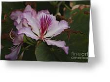 Pink Bauhinia Flower Greeting Card