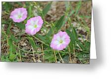 Pink Bindweed Greeting Card