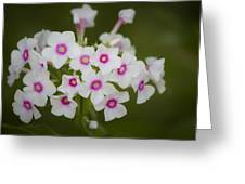 Pink Bright Eyes Garden Phlox Greeting Card