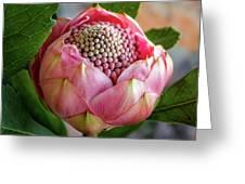 Pink Bud Waratah Greeting Card
