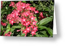 Pink Butterfly Penta Flowers Greeting Card