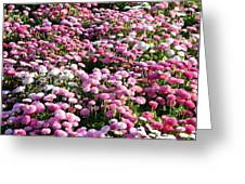 Pink Button Pom Flowers Greeting Card