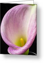 Pink Calla Lily Close Up Greeting Card