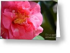 Pink Camelia Closeup Greeting Card