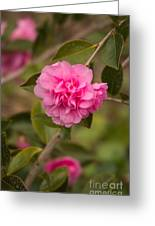 Pink Camellia 2 Greeting Card