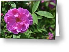 Pink Chestnut Rose Greeting Card