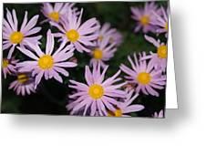 Pink Clara Curtis Daisy Chrysanthemum Greeting Card