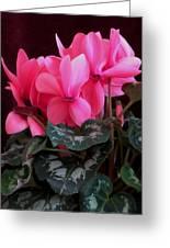 Pink Cyclamen 1 Greeting Card