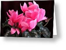 Pink Cyclamen 2  Greeting Card