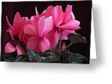 Pink Cyclamen  Greeting Card