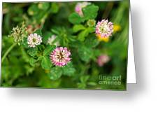 Pink Clover Flowers Greeting Card