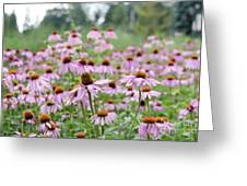 Pink Coneflowers Greeting Card