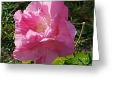 Pink Confederate Rose Greeting Card
