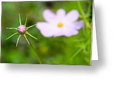 Pink Cosmos Bud Greeting Card