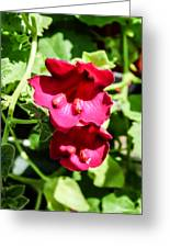 Pink Creeping Gloxinia Greeting Card