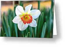 Pink Cup Solo Daffodil Greeting Card