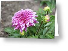 Pink Dahlia 2  Greeting Card