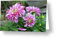 Pink Dahlia Flowers Greeting Card