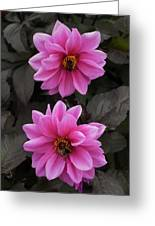 Pink Dahlias With Bees Greeting Card