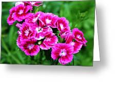 Pink Dianthus Greeting Card