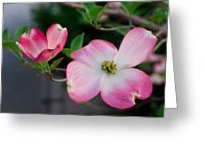 Pink Dogwood In The Morning Light Greeting Card