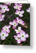Pink Dogwood Mo Bot Garden Dsc01756 Greeting Card