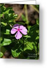 Pink Downy Phlox Wildflower Greeting Card