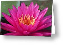 Pink Flame Waterlily Greeting Card