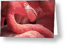 Pink Flamingo Fort Worth Zoo Greeting Card by Robert Bellomy