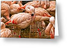 Pink Flamingos Greeting Card