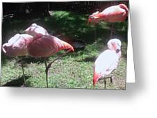 Pink Flamingos Resting Greeting Card