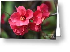 Pink Flowering Quince Greeting Card