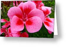 Pink Geranium Blossom Greeting Card