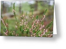 Pink Heather, Calluna Vulgaris, In Foggy Forest Greeting Card