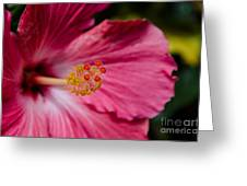 Pink Hibiscus Close-up Greeting Card