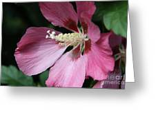 Pink Hibiscus Cose -up Greeting Card