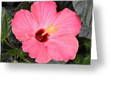 Pink Hibiscus II Greeting Card