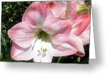 Pink Hippeastrum 01 Greeting Card