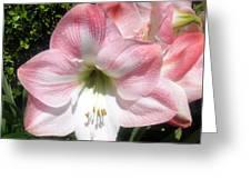 Pink Hippeastrum 01 Greeting Card