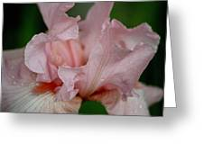 Pink Iris Study 2 Greeting Card