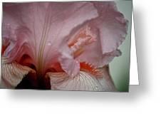 Pink Iris Study 5 Greeting Card